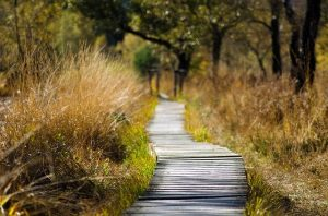 A wooden pathway through brown grasses